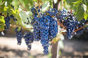 druiven frankrijk wijn